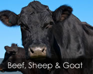 Beef, Sheep and Goat Feed Products