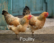 Poultry Feed Products